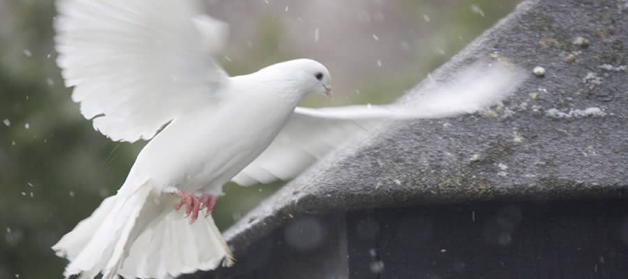Homing and keeping doves
